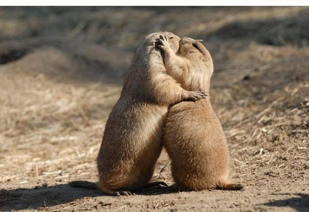 Image of: Cute Animals Lovely Ground Squirrels Arent Feeding On Grass And Seeds Prairie Dogs Can Be Found Smooching Unashamedly For The Whole World To See Aw Young Love The List Love The 10 Most Romantic Animals Youre Ever Likely To See The List Love
